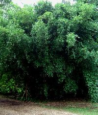 Clumping bamboo, Bambusa multiplex 'typical'  - 'Greenhedge', 'Hedge'