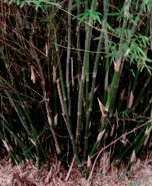 Clumping bamboo, Bambusa multiplex 'typical' base closeup