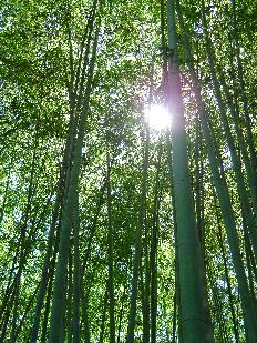 Phyllostachys edulis - Moso bamboo canopy