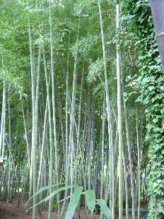 Phyllostachys edulis, Moso bamboo small grove