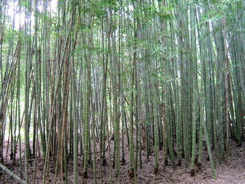 Phyllostachys edulis 'Moso' bamboo grove large grove