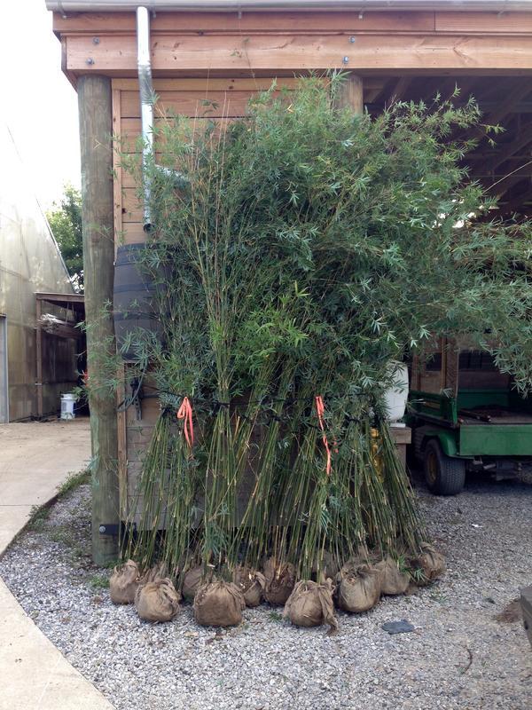 Clumping Bamboo - Hedge Bamboo - Subtropical Bambusa