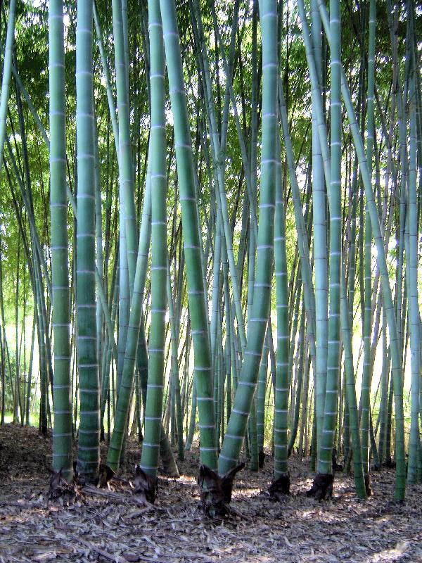 Bamboo Gardens of Louisiana - Moso Bamboo - Giant Bamboo