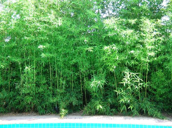 Bamboo Before and After Pictures - Bamboo Growth Rate