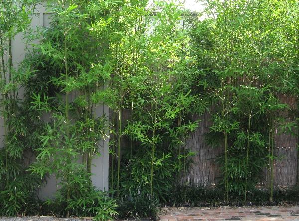 Bamboo Before And After Pictures Bamboo Growth Rate